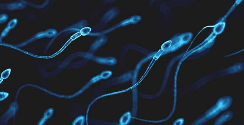 Lifespan of a sperm